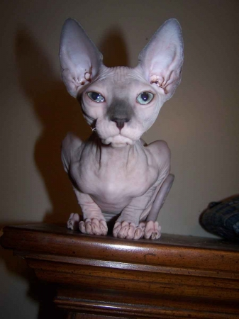 Sphinx Cat - Сфинксы