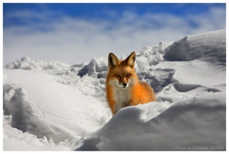 Nate Zeman Photography. Fox