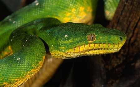 Reptiles Wallpapers