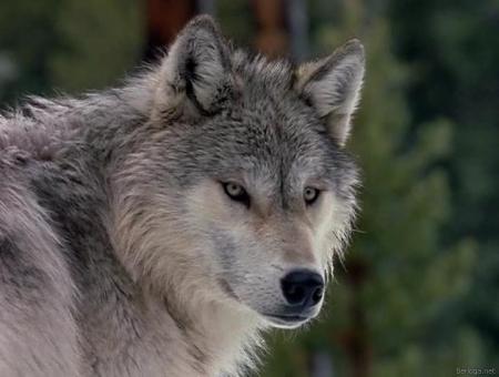 Жизнь с волками/Discovery: Living With Wolves (2005/DVDRip)
