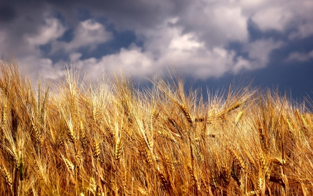 Wheat Fields Wallpapers