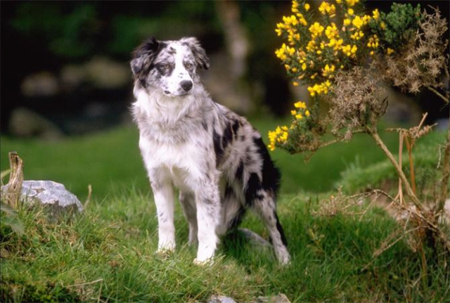 ������ �����/ Border Collie