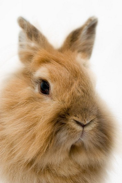 Lion-headed dwarf rabbit